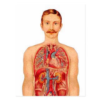 homme médical d'organes internes d'art de kitsch carte postale