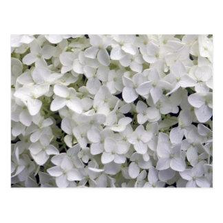 Hortensia blanc carte postale