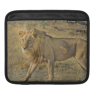 Housse iPad Beau mâle de lion marchant sur la savane