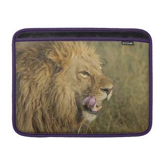 Housse Macbook Air Portrait de mâle de lion léchant sa bouche