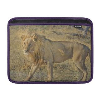 Housse Pour Macbook Air Beau mâle de lion marchant sur la savane