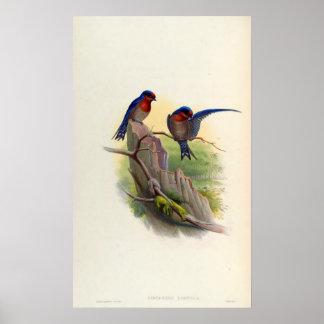 Hypurolepis Domicola (hirondelle de pavillon) Affiches