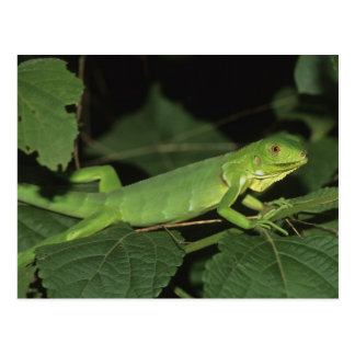 Iguane vert, (iguane d'iguane), iguanes communs carte postale