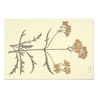 Illustration botanique de valériane sibérienne impression photo