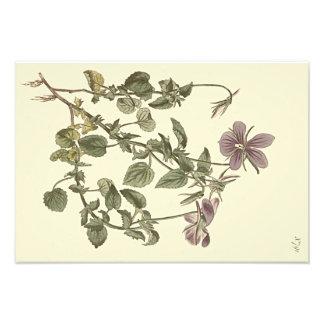 Illustration botanique de violette à cornes impression photo