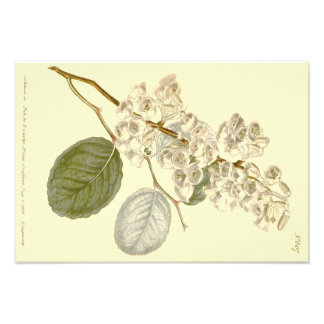 Illustration Leaved ovale blanche d'Andromeda Photographie