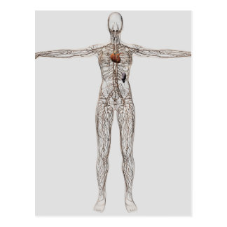Illustration médicale de système lymphatique carte postale