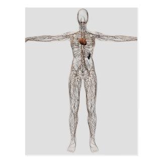 Illustration médicale de système lymphatique cartes postales