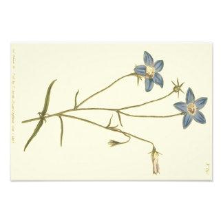 Illustration mince de bleu de campanule impression photo