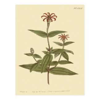 Illustration rouge fleurie mince de Zinnia Carte Postale