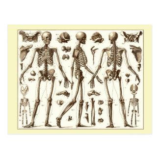 Illustration scientifique du squelette humain carte postale