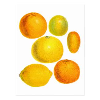 Illustration vintage de citron d'oranges d'agrume carte postale
