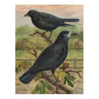 Illustration vintage d'oiseau de freux carte postale