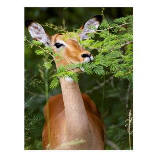 Impala (Aepyceros Malampus) Carte Postale
