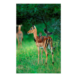 Impala (Aepyceros Melampus) Affiche
