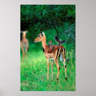 Impala (Aepyceros Melampus) Posters