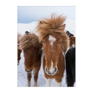 Impression En Acrylique Cheval islandais avec l'étoile