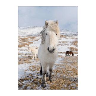 Impression En Acrylique Cheval islandais blanc, Islande