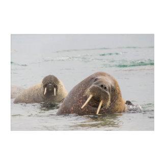 Impression En Acrylique Deux morses dans l'eau, Norvège