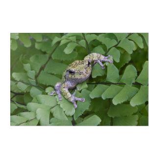 Impression En Acrylique Grenouille d'arbre grise sur la fougère, Canada