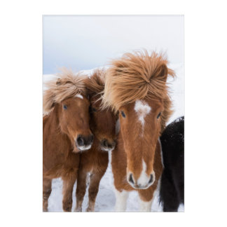 Impression En Acrylique Les chevaux islandais poussent du nez, l'Islande