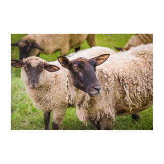 Impression En Acrylique Moutons de la Normandie | France