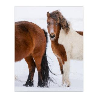 Impression En Acrylique Pinto a coloré le cheval islandais