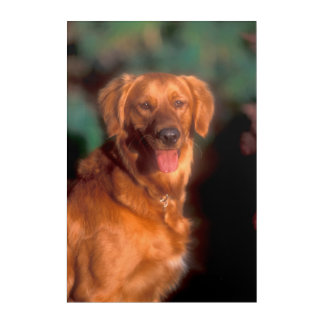 Impression En Acrylique Portrait d'un golden retriever
