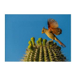 Impression En Acrylique Pyrrhuloxia sur le Saguaro, Arizona