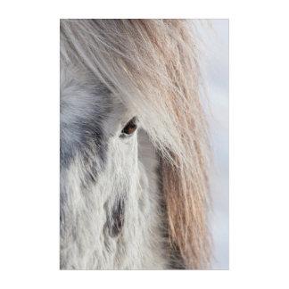 Impression En Acrylique Visage islandais blanc de cheval, Islande