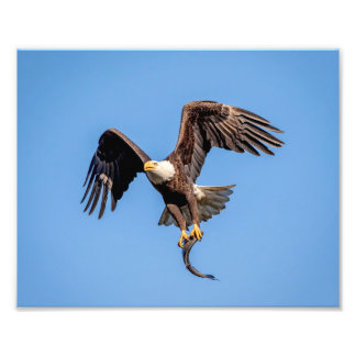 Impression Photo 10x8 Eagle chauve avec un poisson
