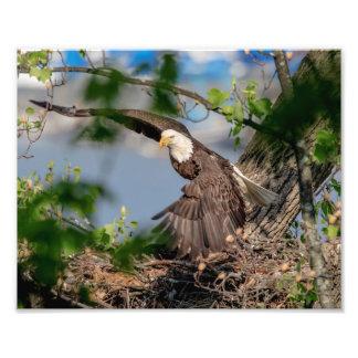 Impression Photo 10x8 Eagle chauve partant du nid