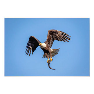 Impression Photo 19x13 Eagle chauve avec un poisson