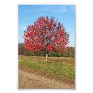 """Impression Photo 6"""" x 4"""" bel arbre rouge d'impression dans le"""