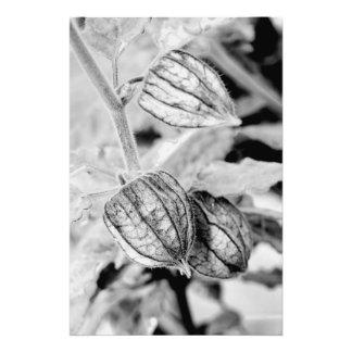 Impression Photo Angulata de Physalis