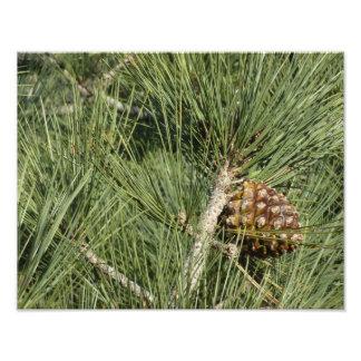 Impression Photo Arbre de la Californie de plan rapproché de pin de