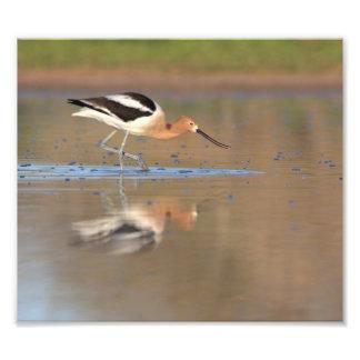 Impression Photo Avocette américaine dans les étangs