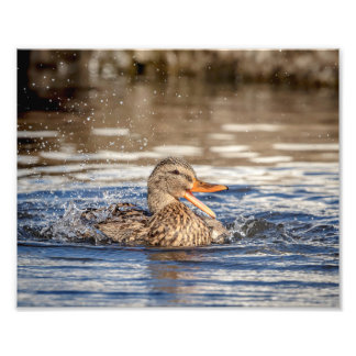 Impression Photo canard de 10x8 Mallard au parc avalant