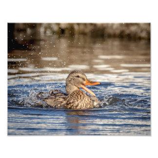 Impression Photo canard de 14x11 Mallard au parc avalant