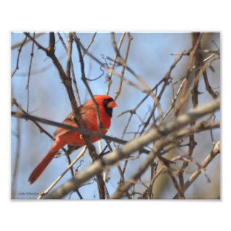 Impression Photo cardinal 8X10 majestueux