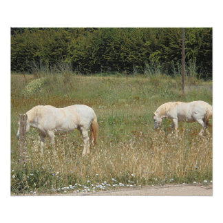 Impression Photo Chevaux blancs