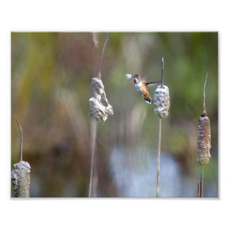 Impression Photo Colibri rassemblant le duvet de Cattail