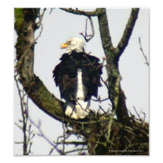 Impression Photo D'Eagle surveillant toujours…