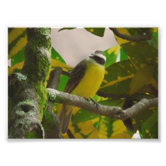 Impression Photo flaveola coloré de coereba d'oiseau