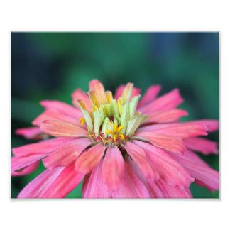 Impression Photo Fleur rose lumineuse de Zinnia