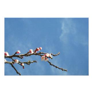 Impression Photo Fleurs d'amande sur une branche