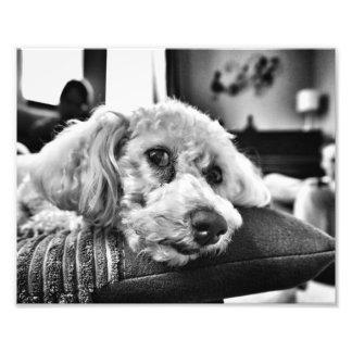 Impression Photo Frise de Bichon sur le sofa