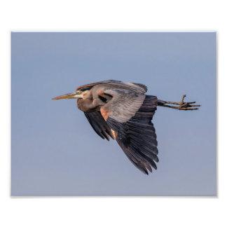 Impression Photo héron de grand bleu 10x8 en vol