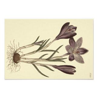 Impression Photo Illustration botanique de grand crocus pourpre de