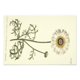 Impression Photo Illustration jaune tricolore de chrysanthème